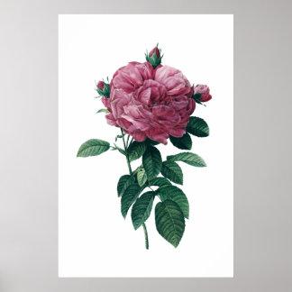 Rosa rosaffisch poster