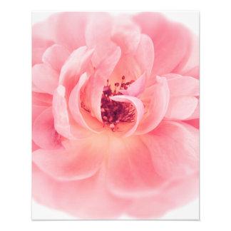 Rosa rosvit rosblomman blommar blommigt fototryck