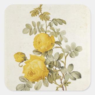 Rosa Sulfurea från 'Les ro Fyrkantigt Klistermärke