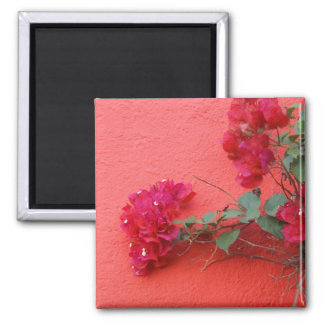 Rosa vägg, rosa Bougainvillea