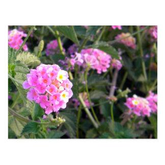 Rosa vildblomma vykort