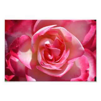 Rosor och vit ros foton