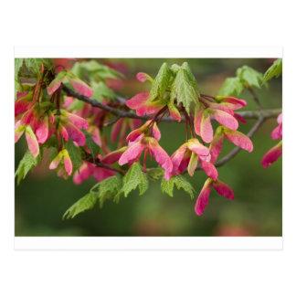 Rosor påskyndat Sycamorefrö - Acer pseudoplatanus Vykort