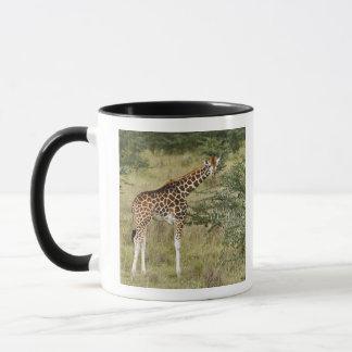 Rothschilds giraff som äter, sjö Nakuru Mugg