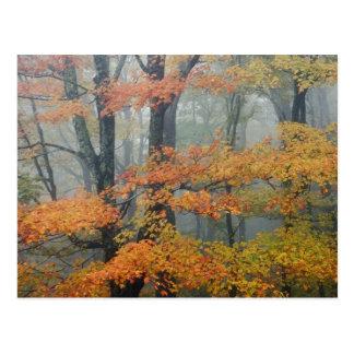 Rött lönnträd, Acer rubrum, porträtt i dimmigt Vykort
