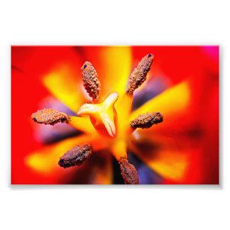 Rött och gult tulpanfoto för makro fototryck