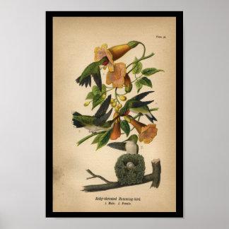 Ruby-throated Hummingbird 1890 för fågeltryck Poster