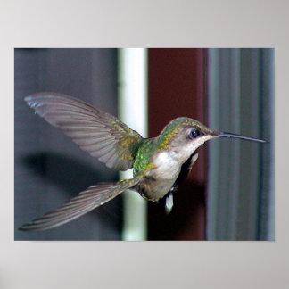 Ruby-Throated Hummingbird 2003-0202b Poster