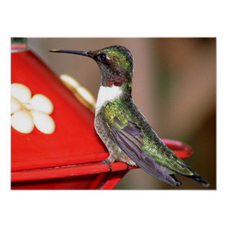 Ruby-Throated Hummingbird 2004-0146a Poster