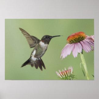 Ruby-throated Hummingbird, Archilochus 3 Poster