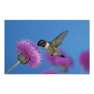 Ruby-throated Hummingbird, Archilochus 4 Poster
