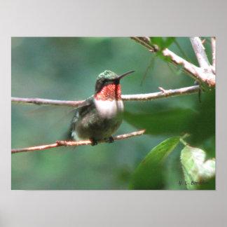 Ruby-throated Hummingbird efter jakt Poster
