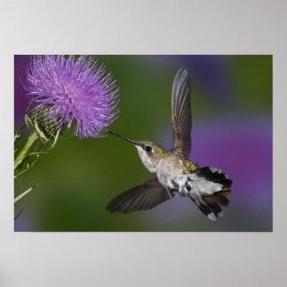 Ruby-throated hummingbird i flyg på thistle 2 poster