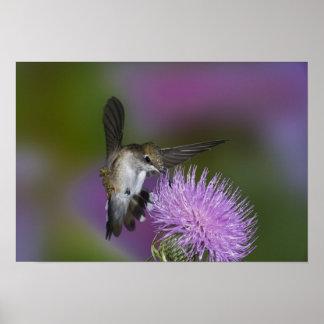 Ruby-throated hummingbird i flyg på thistle 3 poster
