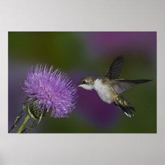 Ruby-throated hummingbird i flyg på thistlen poster