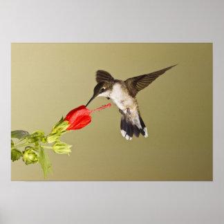 Ruby-throated HummingbirdArchilochus Poster
