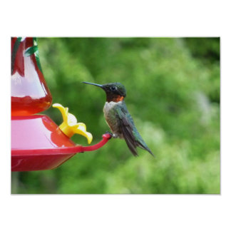 Ruby-Throated Hummingbirdfågelfotografi Poster