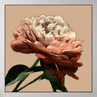 Rubyröd ros med vitbrytningar poster