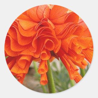 Rufsad Ranunculus Runt Klistermärke