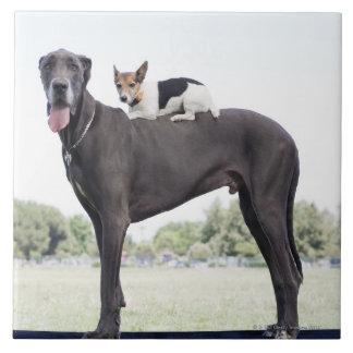 Russell terrier på great dane baksida kakelplatta
