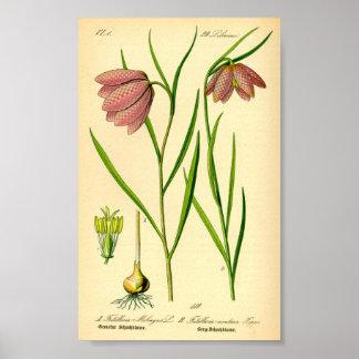 Rutig lilja (Fritillariameleagrisen) Poster