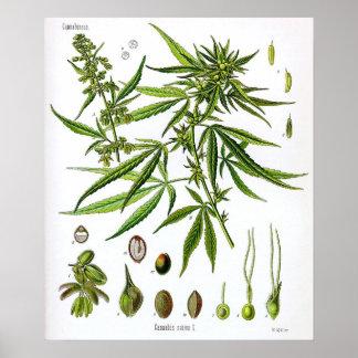 Sativa teckning för växtvintagebotanik poster