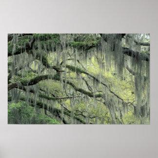 Savannahen Georgia, det levande Oakträd draperade  Poster