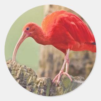 Scharlakansröd Ibis fågelklistermärke Runt Klistermärke