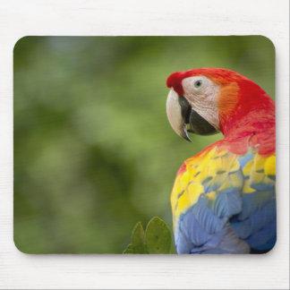Scharlakansröd macaw för vild, rainforest, Costa R Musmatta