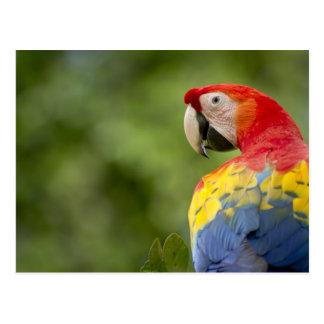 Scharlakansröd macaw för vild, rainforest, Costa Vykort