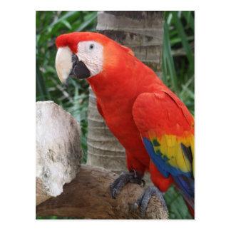 Scharlakansröd Macawfotografi Vykort
