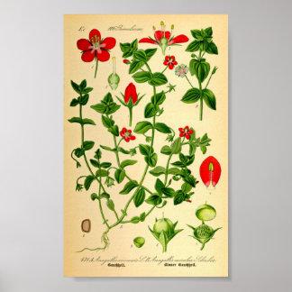 Scharlakansröd Pimpernel (Anagalliscaeruleaen) Poster