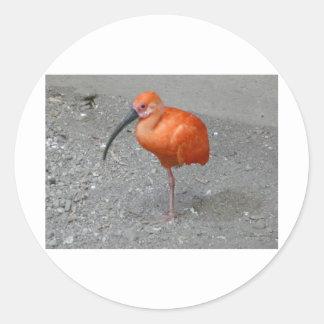 scharlakansröda ibis runt klistermärke
