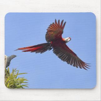 Scharlakansrött Mackaw flyg Musmatta