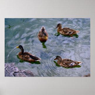Schweitz Nyon, duckar på sjön Poster