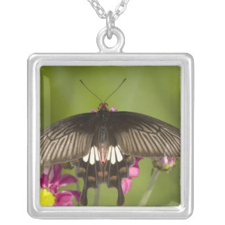 SE Asien, Thailand, Doi Inthanon, Papilio polytes Silverpläterat Halsband