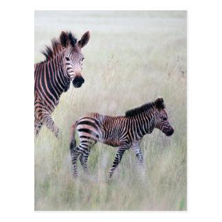 Sebramamma och bebis vykort