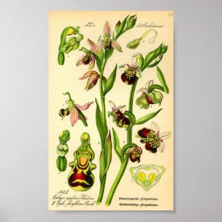 Sen spindelOrchid (Ophrysfucifloraen) Poster