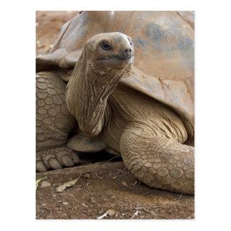 Seychelle Aldabran landsköldpadda Vykort