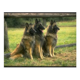 shepherds 3-German Vykort