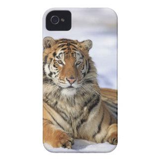 Siberian tiger, Pantheratigris altaica, Asien, Case-Mate iPhone 4 Skydd