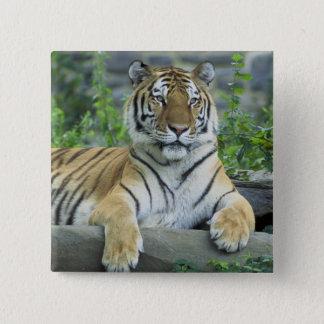 Siberian tiger standard kanpp fyrkantig 5.1 cm