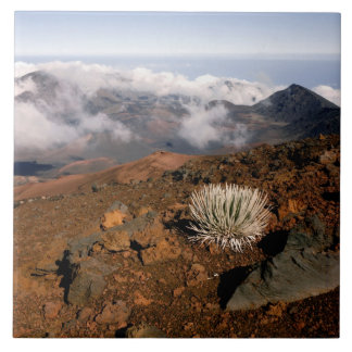 Silversword på Haleakala kraterkant från near 3 Kakelplatta