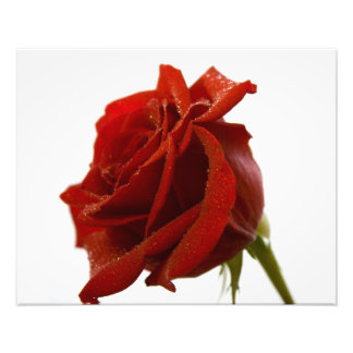 Singelröd ros med dagg tappar fotontryck