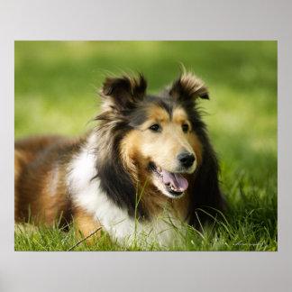 Sitta för Shetland Sheepdog på gräset Poster