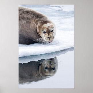 Skäggigt försegla på is, norge poster