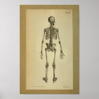 Skelett 1850 för vintageanatomitryck poster
