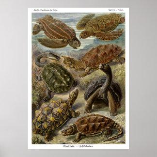 Sköldpadda och sköldpadda av Ernst Haeckel Posters