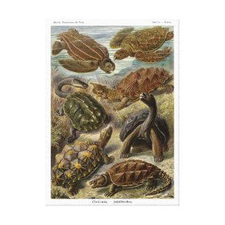 Sköldpadda och sköldpadda av Ernst Haeckel Canvastryck