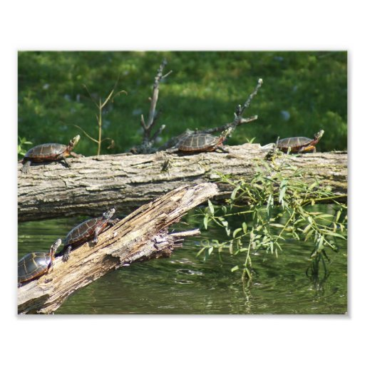 Sköldpaddan överbryggar fotografiskt tryck 10 x 8